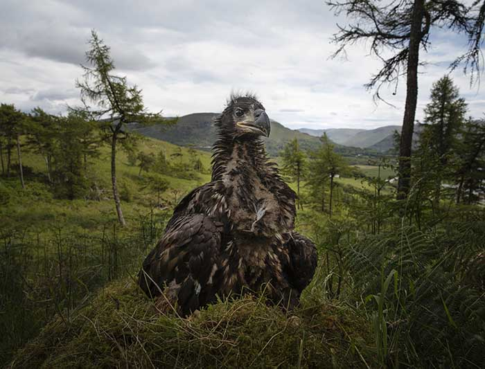 Monitoring White-Tailed Eagles For The RSPB
